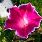 USA SELLER Kikyo Red Morning Glory 10 seeds