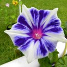USA SELLER Kikyo Snowflakes Morning Glory 10 seeds