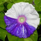 USA SELLER Gathering Clouds Morning Glory 10 seeds
