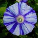 USA SELLER Blue Dragon Morning Glory 10 seeds