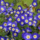 USA SELLER Royal Ensign Dwarf Morning Glory 10 seeds