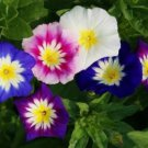 USA SELLER Dwarf Ensign Tri-Colored Morning Glory Mix 10 seeds