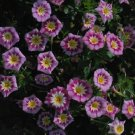 USA SELLER  Dwarf Rose Ensign Morning Glory 10 seeds