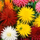 USA SELLER Dahlia Variabilis Mix  10 seeds