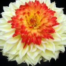 USA SELLER Red Bonnet Double Dahlia 10 seeds