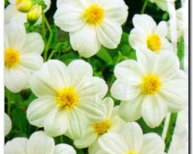 USA SELLER White Ribbion Dahlia 10 seeds
