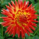 USA SELLER Orange Cactus Dahlia 10 seeds