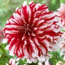 USA SELLER Santa Claus Dinner Plate Dahlia 10 seeds