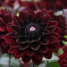 USA SELLER Black Blood Dahlia 10 seeds