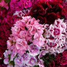 USA SELLER Sweet William Dianthus Mix 100 seeds