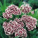 USA SELLER Holborn Dianthus 100 seeds