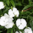 USA SELLER Deltiods White Dianthus 100 seeds