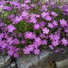 USA SELLER Amor River Dianthus 100 seeds