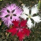 USA SELLER Superbus Fringed Dianthus 100 seeds