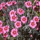 USA SELLER Alwood Pink Dianthus 100 seeds