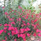 USA SELLER Zing Rose Dianthus 100 seeds