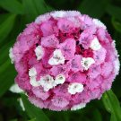 USA SELLER wee Willie Dwarf Dianthus 100 seeds