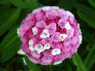 USA SELLER wee Willie Dwarf Dianthus 100 seeds