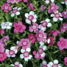 USA SELLER Micro Chips Dianthus 100 seeds
