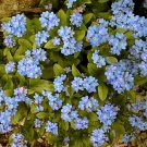 USA SELLERForget-Me-Not (Myosotis Sylvatica) 100 seeds