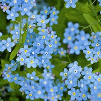 USA SELLER Chinese Forget-Me-Not (Myosotis Sylvatica) 100 seeds
