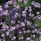 USA SELLER Chinese Pink Forget-Me-Not 100 seeds