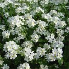 USA SELLER White Forget-Me-Not 100 seeds