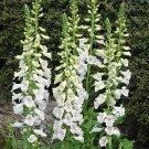 USA SELLER White Foxglove 1000 seeds