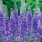 USA SELLER Lavender Foxglove 1000 seeds