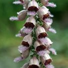 USA SELLER Rusty Foxglove 1000 seeds