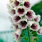 USA SELLER Pam's Choice Foxglove 1000 seeds