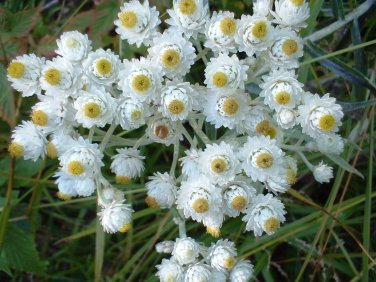 USA SELLER Pearly Everlasting 100 seeds