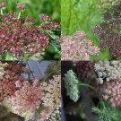 USA SELLER Black Queen Anne's Lace 25 seeds