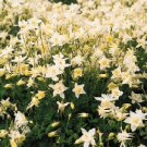 USA SELLER Star White Chrystal Columbine 25 seeds