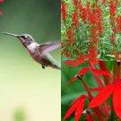 USA SELLER Cardinal Flower (Lobelia cardinalis)  25 seeds