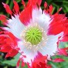 USA SELLER Danish Flag Poppy 100 seeds