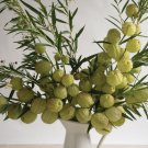 USA SELLER Oscar Plant 10 seeds