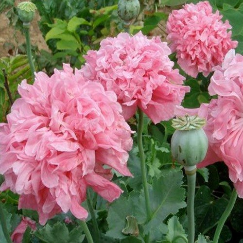 USA SELLER Red Peony Poppy 100  seeds