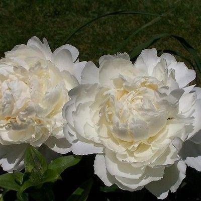 USA SELLER Cream Peony Poppy 100 seeds