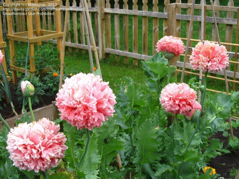 USA SELLER Pale Rose Peony Poppy 100 seeds