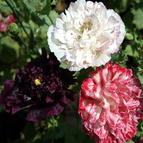 USA SELLER Antique Peony Poppy Mix 100 seeds