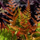 USA SELLER Autumn Brilliance Fern 25  seeds