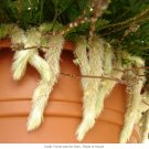 USA SELLER Hair's Foot Fern 25  seeds