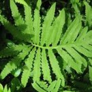 USA SELLER Sensetive Fern 25  seeds