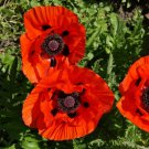 USA SELLER Red Oriental Poppy 100  seeds