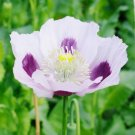 USA SELLER Blue Moon Oriental Poppy 100  seeds
