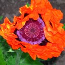 USA SELLER orange Prince Oriental Poppy 100  seeds