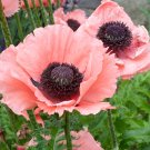 USA SELLER Pink Princess Oriental Poppy 100  seeds