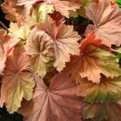 USA SELLER Bronze Wave Coral Bells 25  seeds
