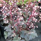 USA SELLER Fairy Dust Coral Bells 25  seeds